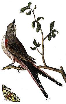 oklahoma state bird scissor tailed flycatcher 50states com