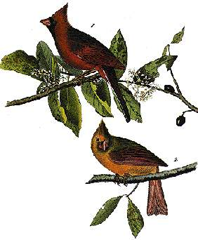 state bird of north carolina