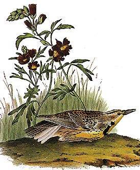 Western Meadow Lark