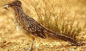 new mexico state bird roadrunner 50states com