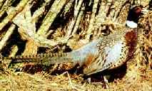 south dakota state bird ring necked pheasant phasianus colchicus