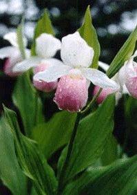 minnesota state flower
