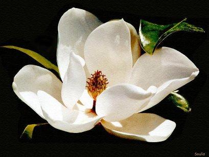 Mississippi State Flower