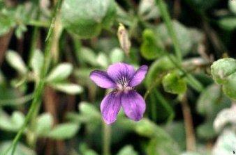 Rhode Island State Flower