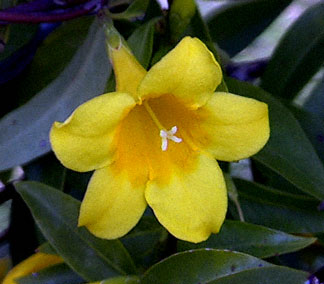 South Carolina State Flower