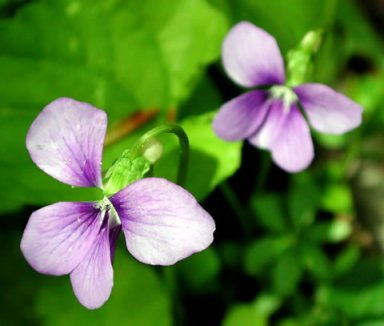 Wisconsin State Flower Wood Violet