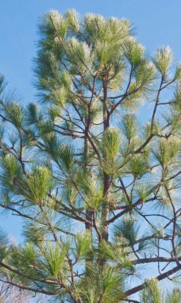 Alabama Longleaf Pine