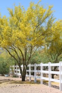 Arizona Yellow Palo Verde Tree