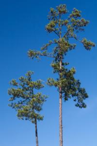 Arkansas Loblolly Pine