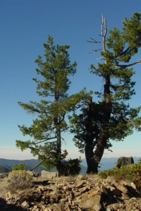 Idaho Western White Pine