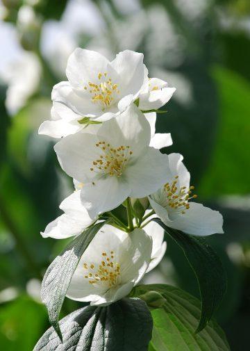 Idaho's state flower the syringa