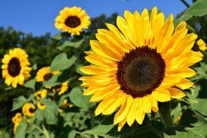 Sunflower Kansas' State Flower
