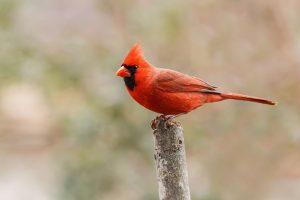 A red male Cardinal, the state bird of North Carolina