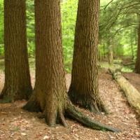 Pennsylvania state tree eastern Hemlock