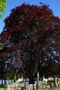 Rhode Island Red Maple tree