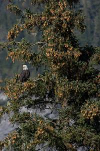 alaska state tree sitka spruce