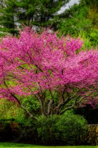 eastern Redbud tree