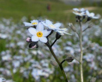Alpine forget me not flower