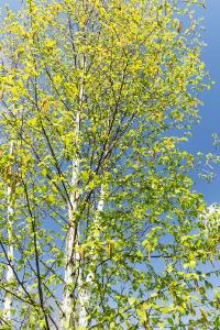 new hampshire state tree