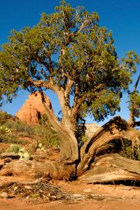 New Mexico State Tree Pinyon Pine