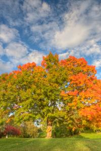 New York State Tree Sugar Maple