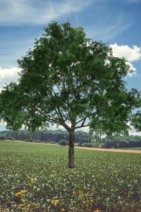 ohio buckeye tree