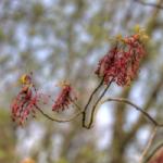 rhode island State Tree details