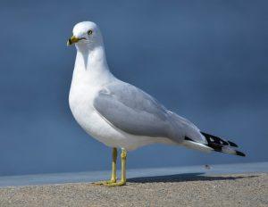 Utah State Bird Ring-Billed Gull