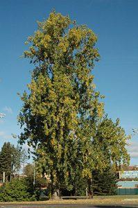 Nebraska State Tree Cottonwood