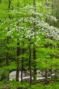 virginia state tree flowing dogwood
