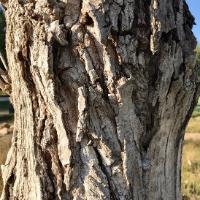 wyoming plains cottonwood tree (1)