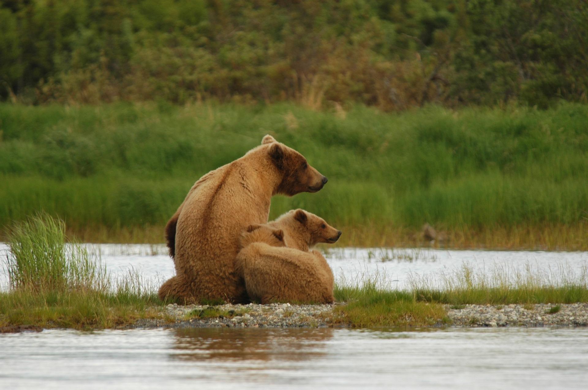 bears at Katmai