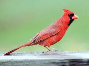 West Virginia state bird the cardinal