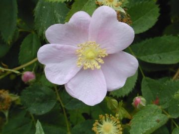 Iowa state flower the prairie rose