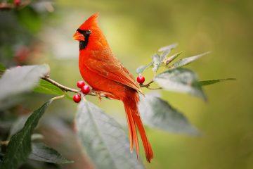 Cardinal state bird