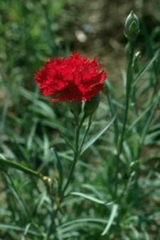 scarlet carnation