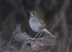 Vermont state bird Hermit Thrush